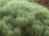 cyperus_papyrus_th
