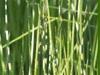 scirpus_lacustris_zebrinus_zebra_rush