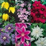 Clematis from £6.99