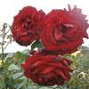 Crimson Cascade