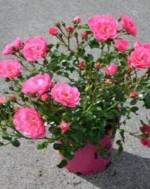 Floral Carpet Rose