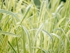 glyceria_maxima_variegata_water_grass