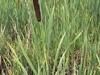 typha_latifolia_great_reed_mace_often_called_bulrush