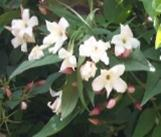 Jasminum Officinale from £6.99
