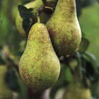 Pear–Conference