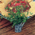 Thyme- Poultry, Meat & Soups