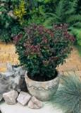 Leucothoe Curly Red