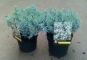 Andromeda polifolia Blue Ice